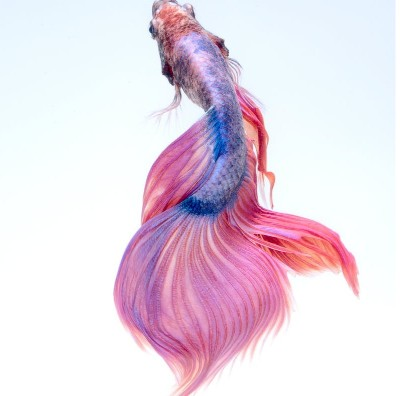 Pez Betta, belleza en tu acuario